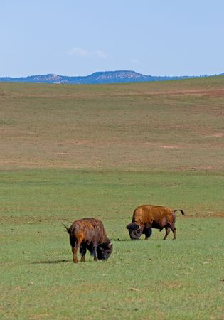 American bisons in green field photo