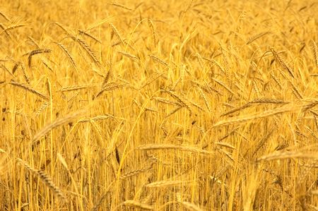 wheat field Stock Photo - 3256698
