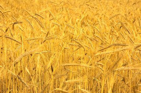 wheat field Stock Photo - 3256698