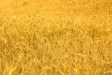 èôñëïêùãòâ ùà ïùäâóò wheat field Stock Photo - 3513263