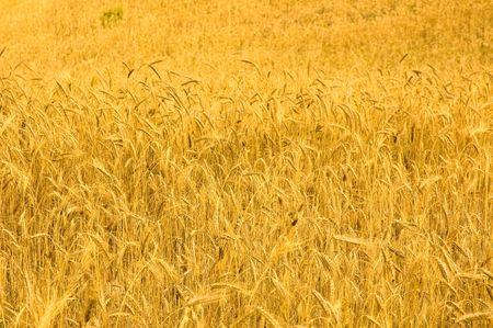 ���������� �� ������ wheat field Stock Photo - 3513263