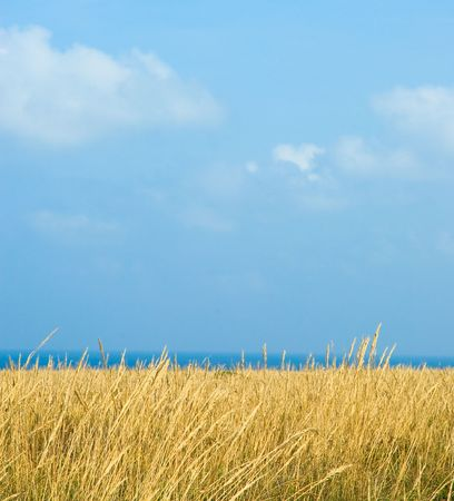 wheat field under blue sky Stock Photo - 3513250