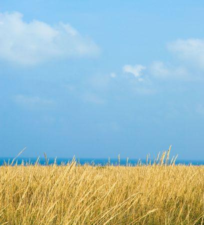 wheat field under blue sky Stock Photo - 3513250