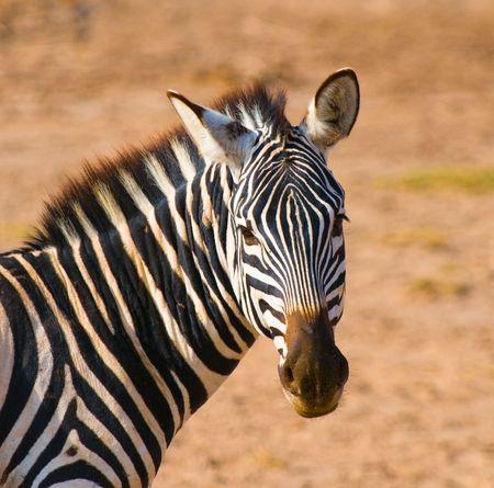 exoticism: zebras head, amboseli national park, kenya Stock Photo