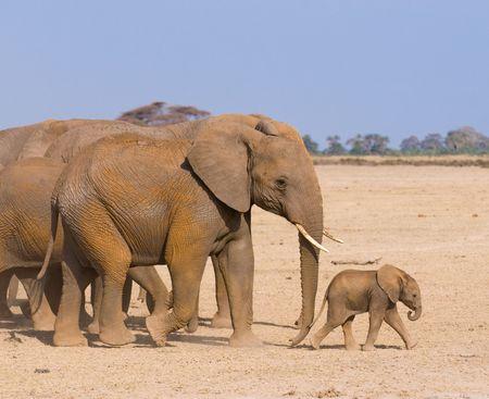 siluetas de elefantes: La familia de elefantes, Amboseli, Kenia Foto de archivo