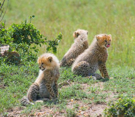 cheetahs cubs, masai mara, kenya photo