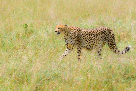 cheetah in the field, masai mara, kenya photo