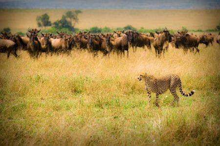 guepardo: guepardo caza, Masai Mara, Kenya