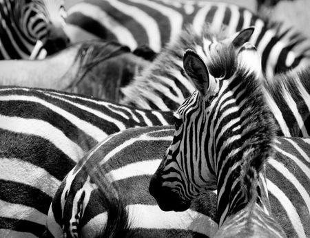 pattern of zebras, masai mara, kenya photo