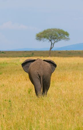 elephant, rear view, masai mara, kenya photo