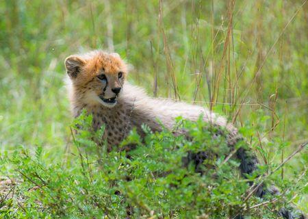 cheetahs cub, masai mara, kenya photo