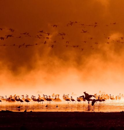flocks of flamingos in the sunrise, lake nakuru, kenya photo