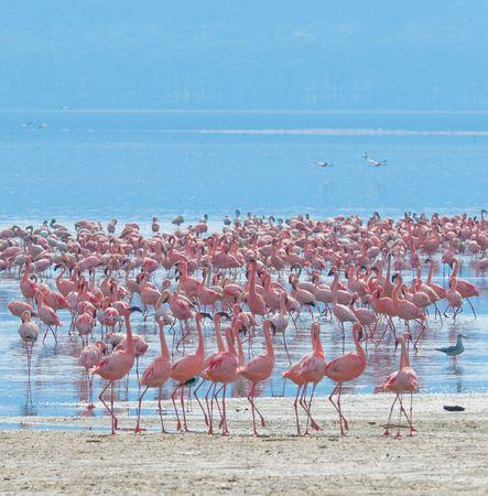 nakuru: flocks of flamingo, lake nakuru, kenya