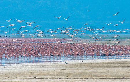flocks of flamingo, lake nakuru, kenya photo