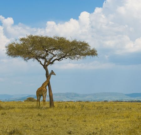 giraffe and a tree, masai mara, kenya photo