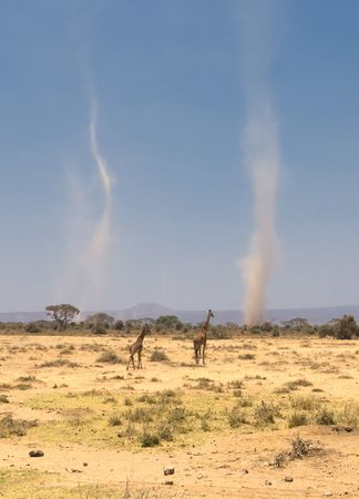whirlwind: giraffes and sandstorms in amboseli national park, kenya Stock Photo