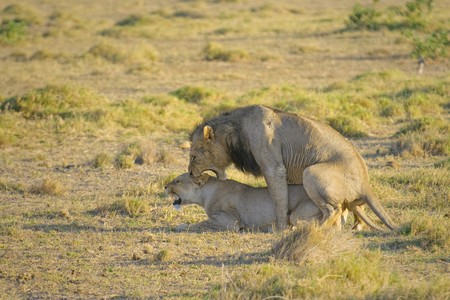 reproduction animal: Mating lions, Amboseli national park Stock Photo