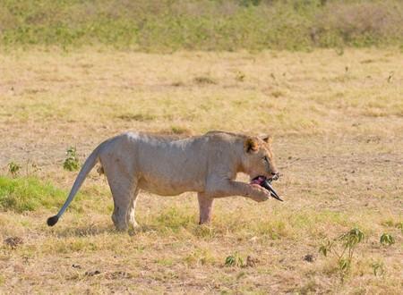 Lion eating wildebeest, Amboseli national park, Kenya photo