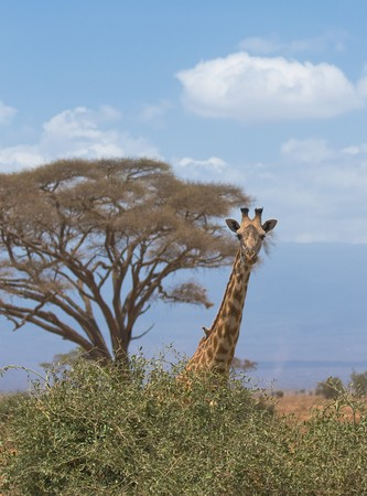 giraffe and a tree, amboseli, kenya photo