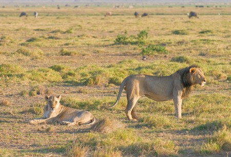 coitus: Mating lions, Amboseli national park Stock Photo