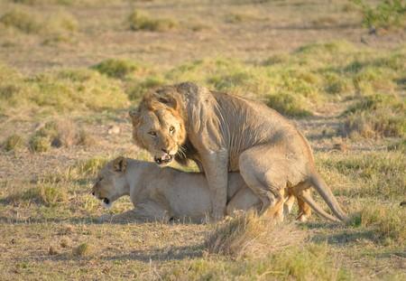 Mating lions, Amboseli national park Stock Photo