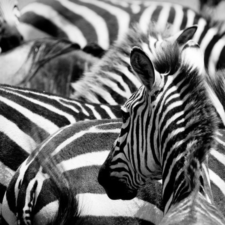 pattern of zebras, masai mara, kenya photo