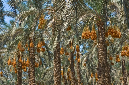 date paln trees Stock Photo - 4386390