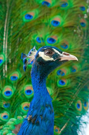 close up image of peacock Stock Photo - 4760536