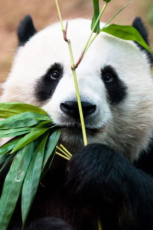 Panda eating bamboo  photo