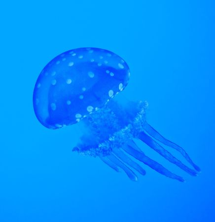 blue jellyfish photo