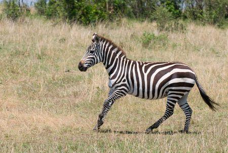 exoticism: running zebra, masai mara, kenya