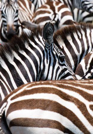 exoticism: pattern of zebras, masai mara, kenya