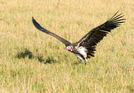 flying vulture, masai mara kenya photo