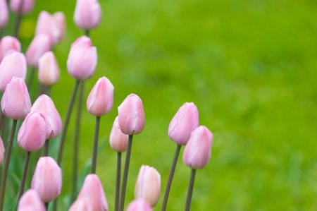 pink tulips, very shallow focus photo