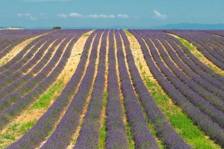 Lavender field, Provence, France photo