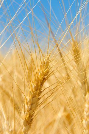 Wheat field Stock Photo - 5198464