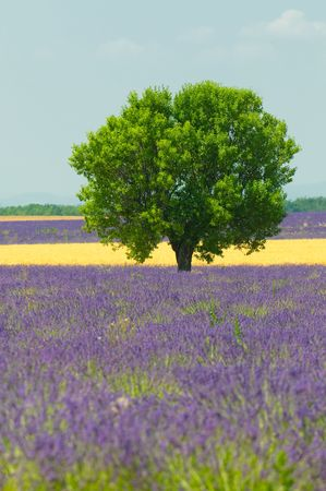 Tree in lavender field, Provence, France photo