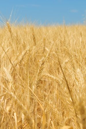 Wheat field Stock Photo - 5265849
