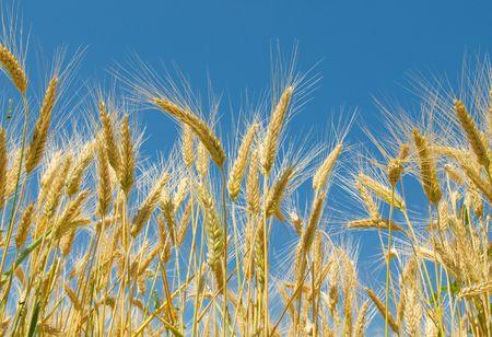 Wheat field Stock Photo - 5283056