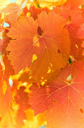red grape leaves, very shallow focus Stock Photo