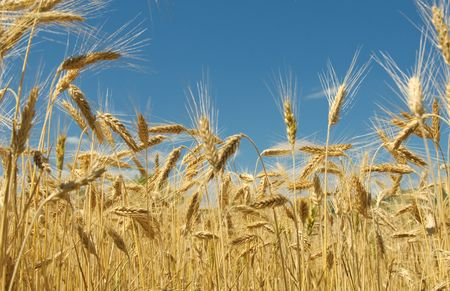 Wheat field Stock Photo - 5305323