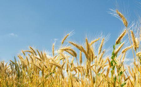 Wheat field Stock Photo - 5305317
