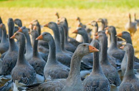 perigord geese photo