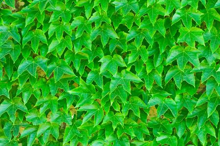 ivy wall: green leaves background Stock Photo