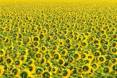 semillas de girasol: Campo de girasol, Provence, Francia, poco profundo enfoque