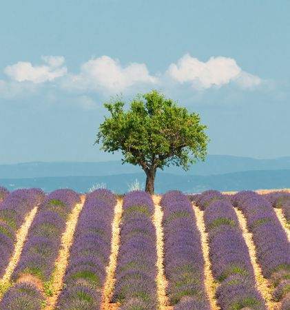 lavendin: tree in lavender field, Provence, France Stock Photo