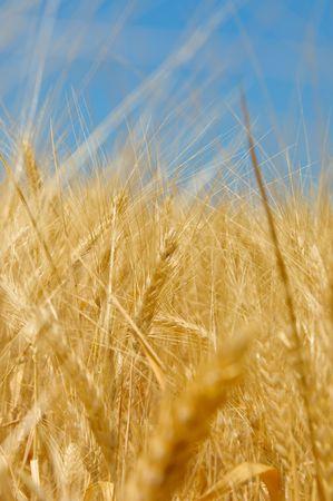 Wheat field Stock Photo - 5409599
