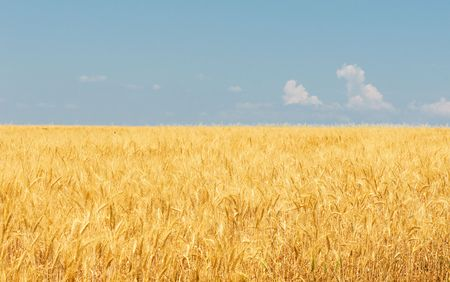 Wheat field Stock Photo - 5409595
