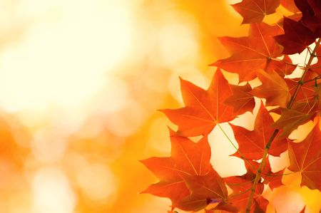 maples: autumn leaves, very shallow focus Stock Photo