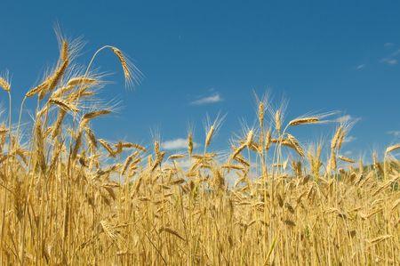 Wheat field Stock Photo - 5420377